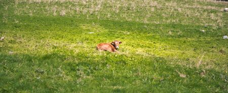 Young cattle on a green grass