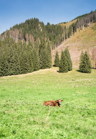 Brown cow on a field