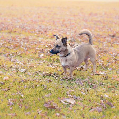 Small dog in a park. Autumn scenery. Dog walking