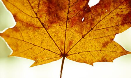 Maple leaf close up - colourful autumn leaves Banque d'images