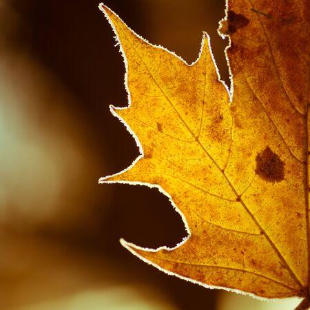 Maple leaf edge close up against dark background