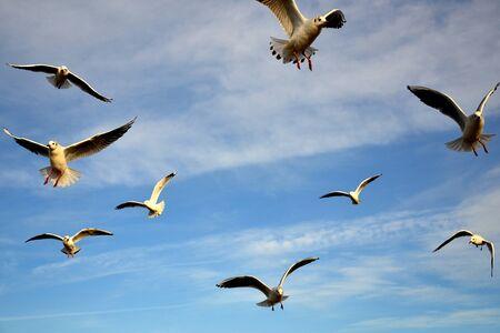 Vögel am Himmel - ein Schwarm fliegender Möwen gegen blassblauen Himmel