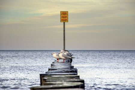 Adult seagulls resting on a wooden breakwater