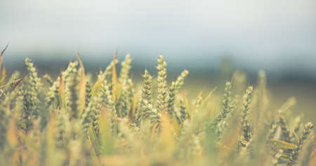 Ripening ears of barley in the field Imagens