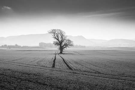 A tree on a field. Misty mountains of Scotland in background. Serenity and peacefulness of natural environment.