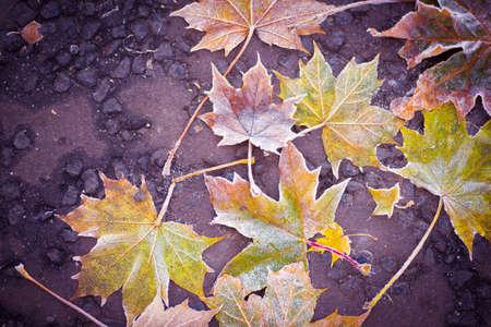 Frozen maple leaves on a sidewalk