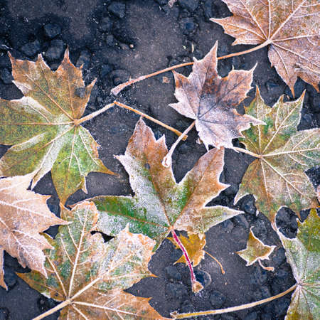 Ice crystals covered maple leaves on tarmac road 免版税图像