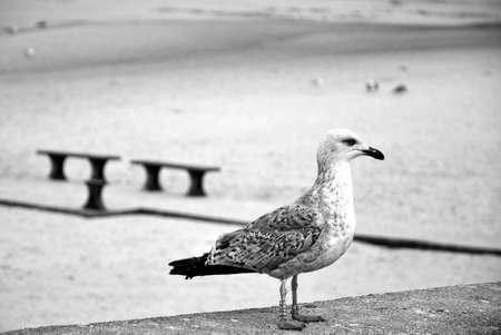 Young seagull (Larus argentatus) herring gull with a leg ring tag and number on a beach around Baltic Sea, Poland
