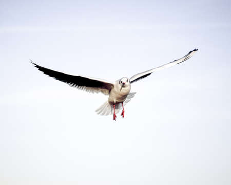Flying bird - a single seagull with wings wide spread against pale blue sky