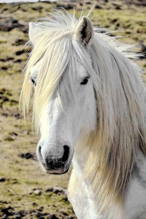 White horse 免版税图像 - 157916952