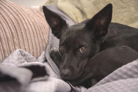 Scared black dog on a sofa Standard-Bild