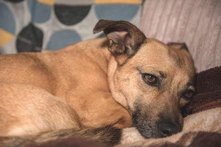 Small ginger dog missing owner Standard-Bild