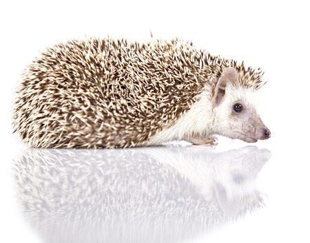 Young hedgehog on isolated background photo