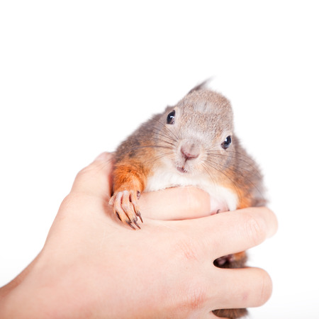 squirrel isolated: Peque�a ardilla aislada en el fondo blanco Foto de archivo