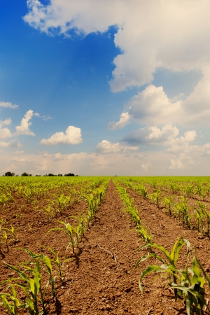 Young corn plants at cornfield in early spring photo