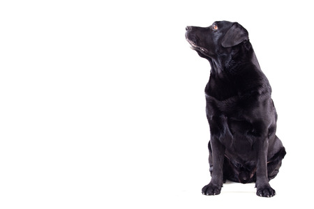 Labrador sitting on an isolated background Stock Photo