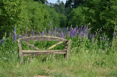Old wooden bench in nature with lupins