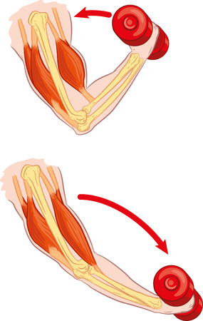 hand lifting weight: Antagonistic muscle Illustration
