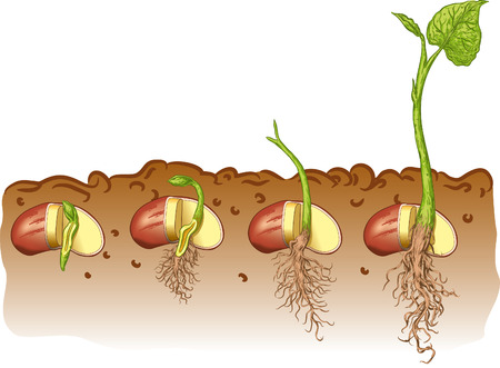seedling growing: Seed bean plant Illustration