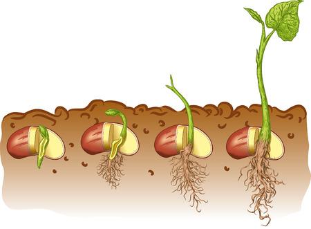 Seed bean plant Illustration