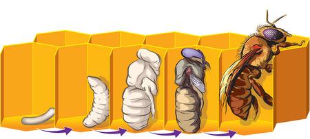 abeja caricatura: El ciclo de vida de una abeja. Vectores