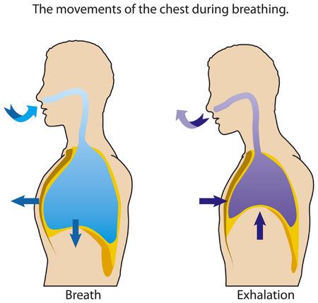 inhalacion: Los movimientos del pecho al respirar. Vectores
