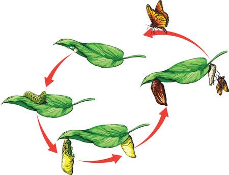 oruga: Ciclo de vida de butterly monarca.