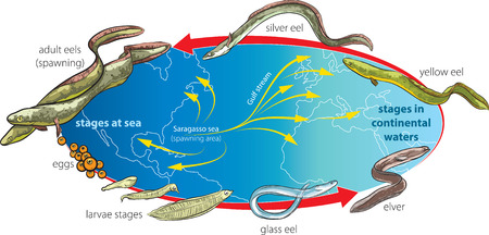Eels life cycle and migration (vector illustration). Ilustração