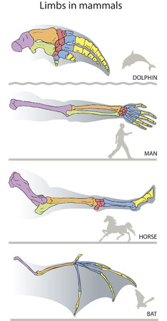Comparative presentation of the extremities in mammals.