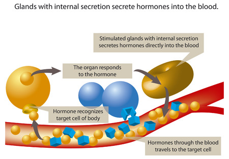 enzymes: Glands with internal secretion secrete hormones into the blood. Illustration