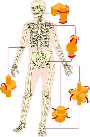 scheletro umano: Tipi di base di movimento delle articolazioni umane. Vettoriali