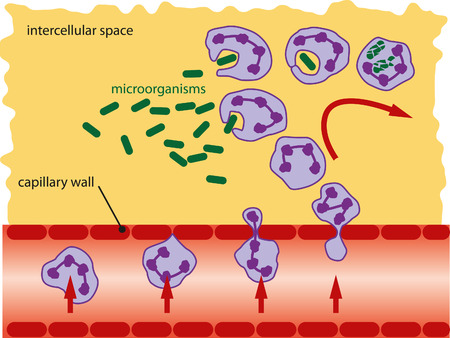 cytoplasm: Leukocytes takes microorganisms with his false legs and decompose them into the cytoplasm. Illustration