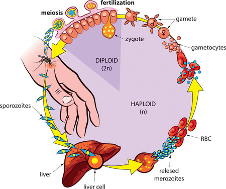 Vector illustration of life cycle of Plasmodium, the causative agent of malaria. Vector