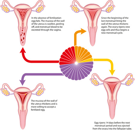 Menstrual cycle Stock Illustratie