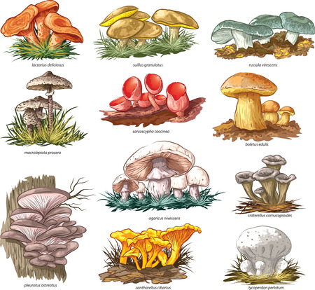 Edible mushrooms vector set.