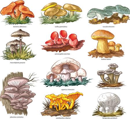 Edible mushrooms vector set. Vector