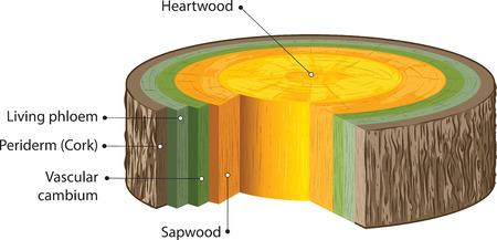 duramen: Tallos de madera Vectores