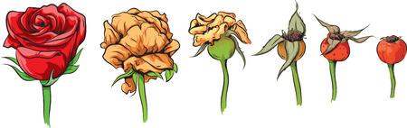 dog rose: Rose - from flower to dog rose Illustration
