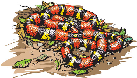 coral snake: Scarlet king snake