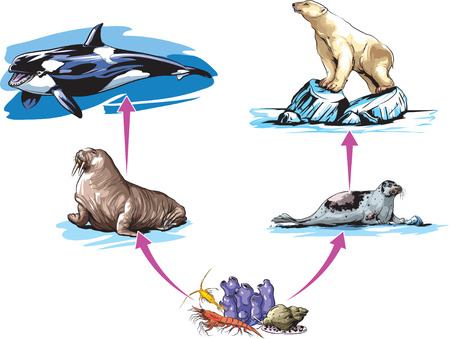 chain food: North pole food chain example