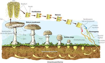 cycle de vie des champignons
