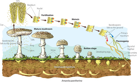life science: Mushroom life cycle