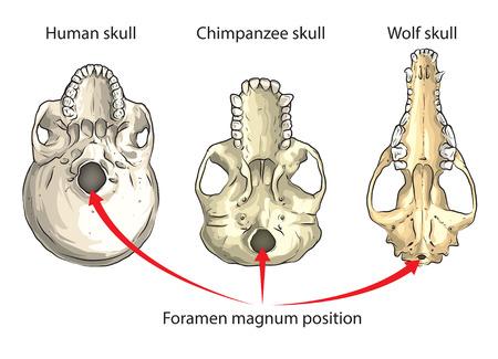 calavera caricatura: Posición de gran abertura en la base del cráneo