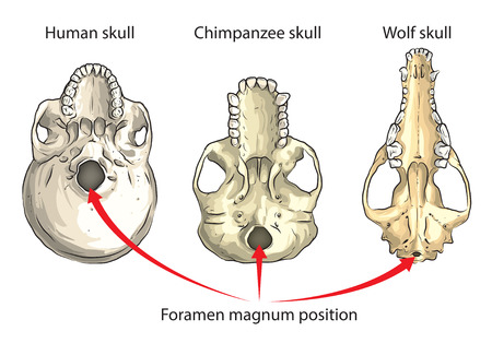 human evolution: Position of large opening in the base of the skull