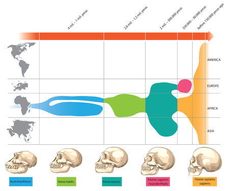 human evolution: Timeline of human skull evolution