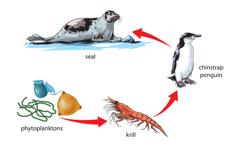 chain food: Antarctic food chain
