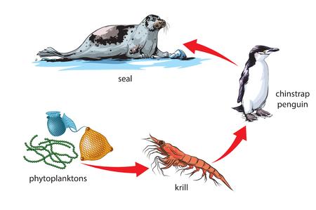 La chaîne alimentaire de l'Antarctique Banque d'images - 52435798