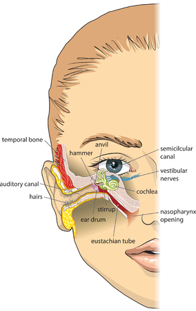 tympanic: Basic ear anatomy Illustration