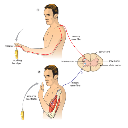 nerveux: Arc réflexe