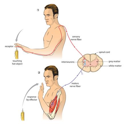 motor neuron: Reflex arc